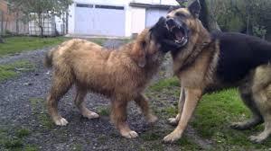 german shepherd tibetan mastiff mix. Brilliant Tibetan Throughout German Shepherd Tibetan Mastiff Mix