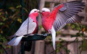Love Birds Wallpapers HD for Laptop ...