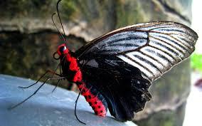 wallpaper 2560x1600 butterfly, red ...