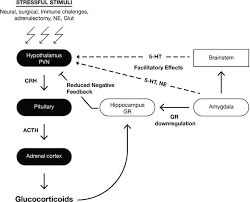 Hpa Axis The Role Of The Amygdala In Regulating The Hypothalamic Pituitary