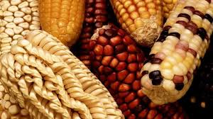 what you need to know about genetically modified organisms what you need to know about genetically modified organisms iflscience