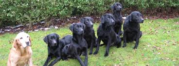 leadburn gundogs breeders of retrievers