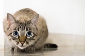 Résultat de recherche d'images pour 'photo de chat au yeux bleu ciel'