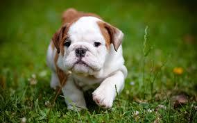 cute pitbull puppies wallpaper. Simple Cute Cute Pitbull Puppy Wallpaper  Inside Puppies I