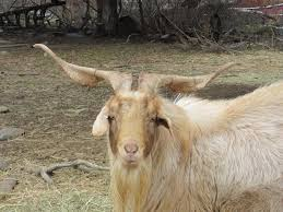 Lamancha Dairy Kiko Goats