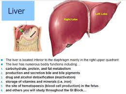 Liver Anatomy Anatomy Of The Liver Test 1 Flashcards Quizlet