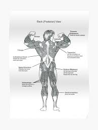 Anatomy Diagram Muscle Chart Back Poster