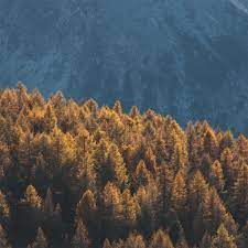 forest mountains trees tops coniferous ...