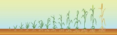 Wheat Growth Chart Plant Growth Charts For Corn Wheat Soybeans Powerag
