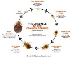 bedbug pictures4