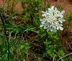 Family page: Dipsacaceae - Flora of Zimbabwe