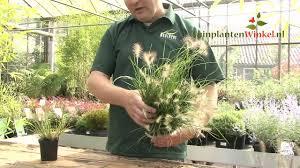 Uitleg En Tips Over De Pennisetum Little Bunny Door Onze Tuinplantenwinkelnl Specialist