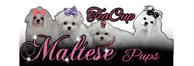 Teacup Maltese Weight Chart Growth Chart Tea Cup Maltese Pups