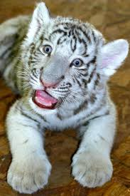 baby white tiger. Perfect Tiger Baby White Tiger Cub For More Visit GreenGlobalTravelcom And T
