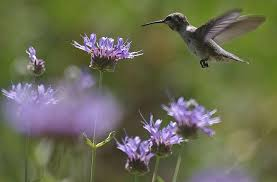 a young anna hummingbird on salvia alpine cleveland sage cleveland sage is drought resistant