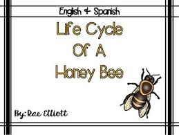 Life Cycle Of A Honey Bee Bilingual