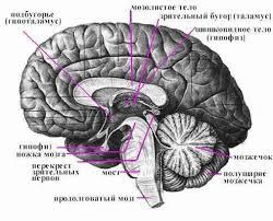 Головной мозг Рефераты ru Сетчатая ретикулярная формация продолговатого мозга состоит из переплетения нервных волокон и лежащих между ними нервных клеток образующих ядра