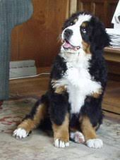 Bernese Mountain Dog Wikipedia