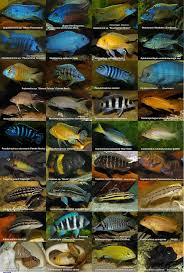 African Cichlids Poster By Michellalonde On Deviantart