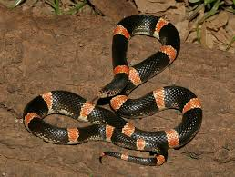 milk snake size mexican long nosed snake by cowyeow snake buddies