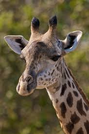 pictures of a giraffe. Modren Pictures Thornicroftu0027s Giraffe Throughout Pictures Of A