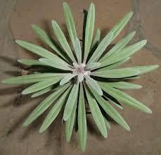 Kleinia neriifolia Senecio kleinia Fat Leaf RARE Caudex Succulent Plant  Aloe Q | eBay