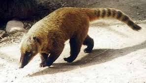 Image result for coatimundi