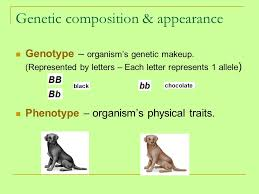 20 genetic position appearance genotype organism s genetic makeup represented by letters