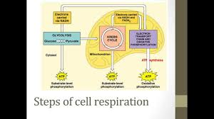 Complete The Chart For The Stages Of Cellular Respiration Stages Of Cellular Respiration