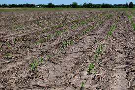 Evaluating Corn Stands For Possible Replant Integrated
