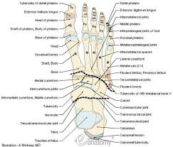 foot anatomy  anatomy and anatomy bones on pinteresthuman muscle quiz printout   of foot   anatomy   bones  skeletal system  joints