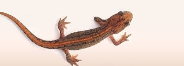 Image result for newt