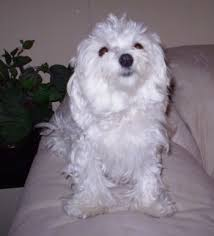 maltese dog. view from the front - a white maltese is sitting on arm of tan dog