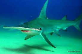 great hammerhead shark eating. Brilliant Eating Inside Great Hammerhead Shark Eating YouTube