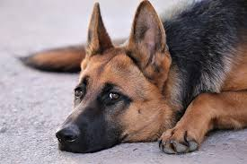 fungal infections in dogs causes