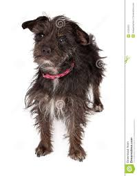 black wire haired terrier mix. Fine Haired Terrier Female Mixed Breed Wirehaired On Black Wire Haired Mix D