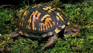 box turtle setup a how to guide all