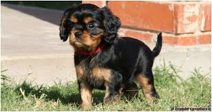 cavalier king charles spaniel black and tan puppy.  Cavalier Black U0026 Tan Cavalier King Charles Spaniel Puppy Intended And M