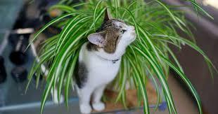 Kamerplanten niet giftig voor katten