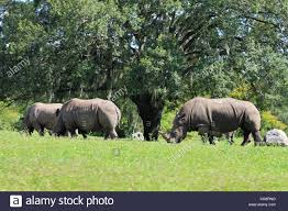 three rhinoceroses circling a tree busch gardens tampa bay tampa florida