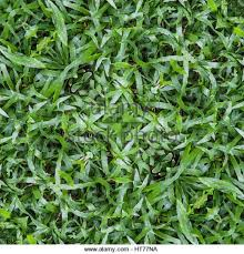 tall grass texture seamless. Seamless Abstract Green Nature Lawn Grass Texture And Pattern - Stock Image Tall
