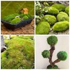 Decorative Moss Balls 100pcs sphagnum moss bonsai moss seeds Lovely moss ball decorative 37