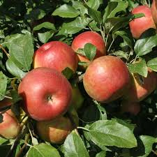 Low Chill Hot Areas Anna Apple Plant
