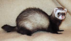 Ferret Color Chart Ferret Wikipedia