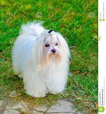 silky dog white. royalty-free stock photo silky dog white d