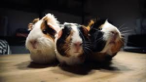 feature diy guinea pig cage ideas guinea pig multi level cage