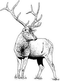 Small Picture elk coloring page Rocky Mountain Elk coloring page Super