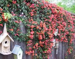 Texas Climbing Vine - Crossvine | Gardening | Pinterest | Gardens ...