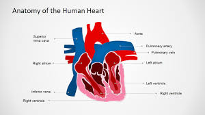 Anatomy Of The Heart Chart Anatomy Of The Human Heart Powerpoint Shapes
