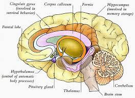 Brain Chart Human Anatomy And Physiology Diagrams Human Brain Diagram